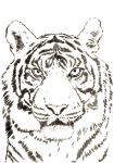 tiger_wildlife_Step02.jpg